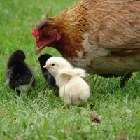 10 Benefits of Keeping Chickens