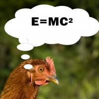 The surprising intelligence of chickens