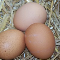 How To Get Chickens to Lay Eggs in the Nesting Box
