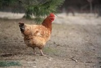 What To Check For When Buying Hens